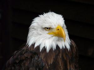 eagle-1119428-m